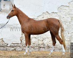Akhal-teke horses for sale - Ashamaz(Khalid - Asida)