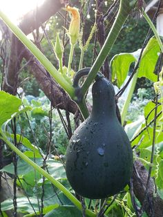 Climbing Gourd, photo by Kathy Sturr