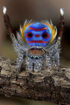 Aranha-pavão usa cores do corpo para atrair fêmeas