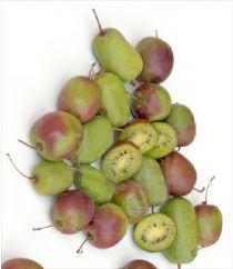Les kiwais sont des fruits exotiques qui se diférencient du kiwi par leur taille plus petite et leur peau lisse. Très rustique, Actinidia arguta peut supporter des froids de l'ordre de -25°C. La floraison blanc verdâtre, délicieusement parfumée est suivie de fruits arrivant à maturité en octobre. Plus sucré que le kiwi, le kiwai apporte aussi plus de vitamines C et contient de nombreux oligo-éléments. Les premiers fruits apparaissent 2 à 3 ans après la plantation.