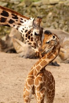 """""""love mom,"""" by Henk Bentlage -- [Actually, this is """"Mother giraffe cuddling with its baby,"""" by Henk Bentlage here: http://www.shutterstock.com/pic-49465558/stock-photo-mother-giraffe-cuddling-with-its-baby.html]"""