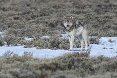 A grey wolf pauses to give me a look on the sagebrush flats of Yellowstone National Park. Grand Teton National Park, Yellowstone National Park, National Parks, Beautiful Wolves, Animals Beautiful, Yellowstone Wolves, Wolf Photos, Wolf Love, Big Bad Wolf