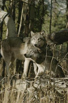 MacKenzie Valley Wolves..... (Canus lupus occidentalis)