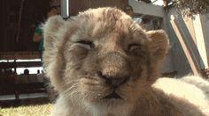 Sleepy lion cub