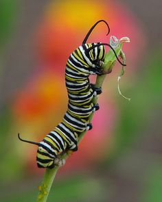 """Monarch Cat: Beautiful Macro Photography - """"beautiful macro photography: Monarch Cat Image by Vicki's Nature There were 18 Monarch caterpillars on our milkweed on Thursday. Yesterday they had totally denuded one of the milkweed and werewanderin Caterpillar Tattoo, Monarch Caterpillar, Butterfly Facts, Monarch Butterfly, Butterfly Outline, Butterfly Pictures, Butterfly Wings, Equine Photography, Macro Photography"""