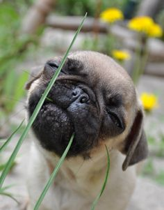 Flossing... Now that I have a boxer I think I could love a Pug and Boston Bull with thier buggy eyes and square nose. Just a smaller scale.