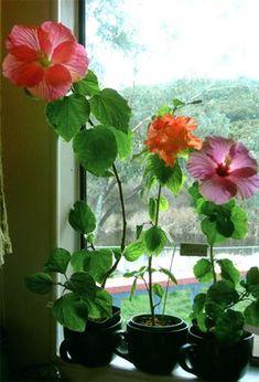 #hibiscus #careHibiscus care