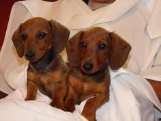 Adorable Minature Red Dachshunds had to repin it reminds me of my weenie dog Milo!!