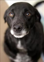 Mattie is an adoptable Labrador Retriever Dog in Lexington, KY. Hello there! My name is Mattie, I am about 6 years old (as of 11/12/12). I am very playful and have a sweet personality. Now, don't be p...