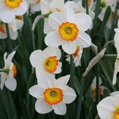 Narcissus Flower Tattoos, Birth Flower Tattoos, November Flower, Tattoo Fleur, Bug Tattoo, Spring Flowering Bulbs, Planting Plan, Birth Flowers, Enchanted Garden