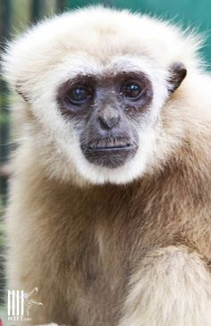Nee, the white handed gibbon can see again after a cataract operation, at WFFT Rescue Center