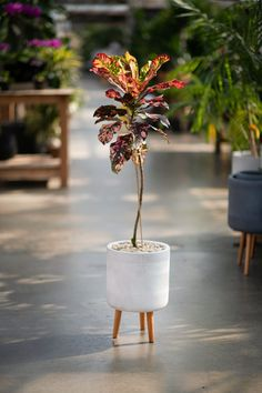 A gorgeous and colourful croton topiary style, in fall colours. Planted up in a stunning white ceramic pot with wooden legs and geometric designs. Brightens up any spot in your home and brings the Autumn indoors.