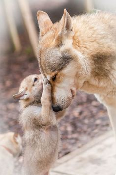 Wolf Pup Learns Love and Affection from Mama Wolf: