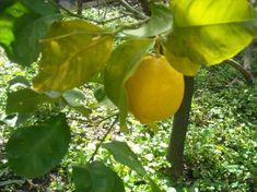 Come si effettua potatura dei limoni quando e cosa potare guida foto video diversi tipi di potatura primaverile estiva eliminare rami polloni succhioni