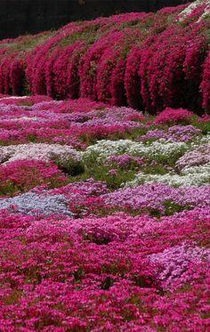 Les phlox couvre-sol ne donnent pas leur place. Quelle symphonie de roses!