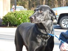 Petango.com – Meet Lady, a Retriever, Labrador / Mix available for adoption in GOLDSBORO, NC