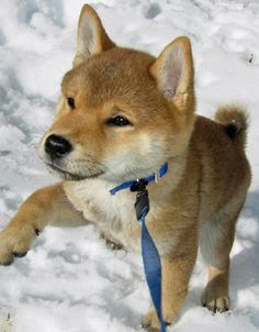 """Hi, my name is Yuki (""""snow"""" in Japanese) and I am a stubborn little Shiba."""