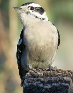 Photo by Joan Dettman Triantafillou‎ Downy Woodpecker, Bird Species, Bird Feathers, Beautiful Creatures, Birds, Animals, Image, Animales, Animaux