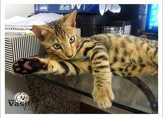 Bengal - Gatil Vasile Cats