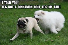 Funny pictures about Everyone loves a pug's cinnamon roll. Oh, and cool pics about Everyone loves a pug's cinnamon roll. Also, Everyone loves a pug's cinnamon roll. Funny Animal Jokes, Funny Dog Memes, Cute Funny Animals, Cute Baby Animals, Funny Cute, Funny Dogs, Pug Jokes, Funny Captions, Meme Pug