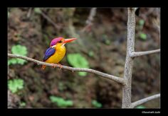 Oriental Dwarf Kingfisher also known as the Three Toed Kingfisher is one of the most beautiful colourful kingfisher in the Indian subcontinent.  A monsoon breeder this bird will build its nest as a horizontal hole on mud walls sometimes even 1 meter deep. Though small in size the bird feasts on large tarantulas, skinks, crabs and lizards