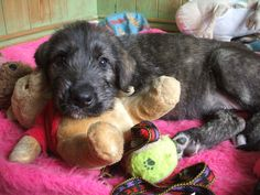irish wolfhound dog | Irish Wolfhound Puppies | Pontefract, West Yorkshire | Pets4Homes