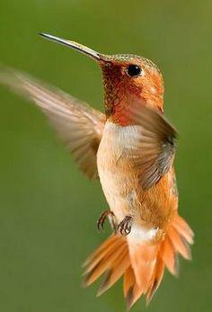 orange roufus hummingbird, soft green background