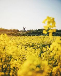 Just off the German coast of the North Sea sits the island of Föhr, where Thomas admires this golden yellow landscape o