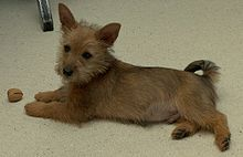 Australian Terrier | Australian Terrier – Wikipedia