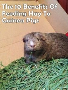 The 10 Benefits Of Feeding Hay To Guinea Pigs.(Make sure any hay you purchase is not breeding mold)