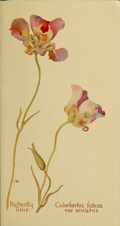 Butterfly Tulip. Plate from 'Field Book of Western Wild Flowers' (1915) by Margaret Armstrong.