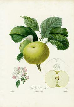 Poiteau & Risso Fruit Print