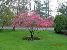 Pink Dogwood tree image - Google Search