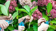 Fotonávod: Rozmnožte si hortenzie - Pluska.sk Herbs, Plants, Lawn And Garden, Herb, Plant, Planets, Medicinal Plants