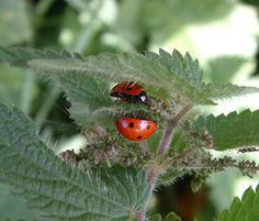 Loads of insects love nettle including ladybirds who lay their eggs under the leaves. It is a good idea for any wildlife gardener to have a small patch somewhere around; the ladybirds (or ladybugs if you are American) that you attract will eat up the greenfly and other plant pests.