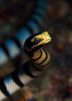 Banded Sea Krait by FrogfishPhotos