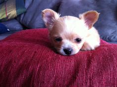 Tiny tiny puppy Corazon named for the tiny white fur patch in the shape of a heart on her forehead.