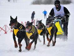 Doberman sled dogs