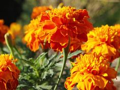 Plant marigolds to deter mosquitoes