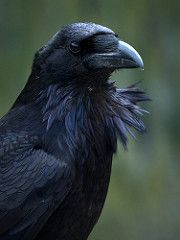 Common Raven (Corvus corax) | by ER Post
