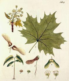 A faj kettős latin neve: Acer platanoides Magyar név:korai juhar Család:Sapindaceae Alcsalád: Aceroideae Rend:Sapindales Életforma:MM Termés: ikerlependék