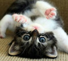 Funny cats Videos Vines 2016 Cute kittens doing funny Fluffy Kittens, Cute Cats And Kittens, I Love Cats, Crazy Cats, Kittens Cutest, Pretty Cats, Beautiful Cats, Animals Beautiful, Cute Funny Animals