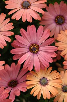 Osteospurmums.. flowers of South Africa.                                                                                                                                                      More