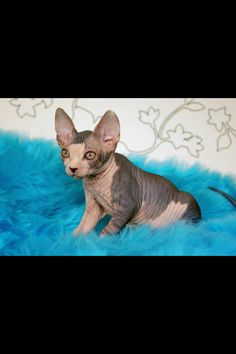 Little sphinx a type of hairless cat.