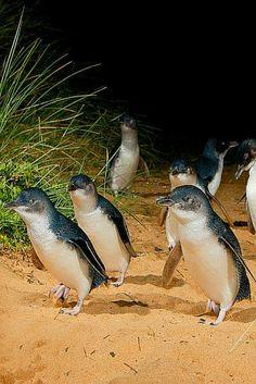 The adorable little penguins on Phillip Island, Australia: