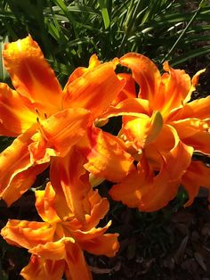 Double Daylilies-2013