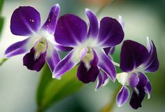 Indonesian orchid by Not enough megapixels, via Flickr