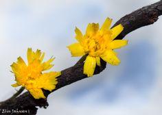 Kystgriseøre; flerårig urt. hører til korgplantefamilien. Blomstring i juni #hypochaeris_radicata