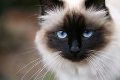Sealpoint birman - lovely eye color and point color