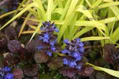 Chartreuse in my garden (Spiderwort 'Sweet Kate' with ajuga 'Black Scallop')